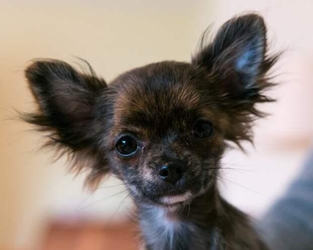 Миниатюрные корги навели ужас на солидных собак в Ховрине