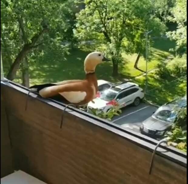 На Комдива Орлова огарь залетел на балкон многоэтажки