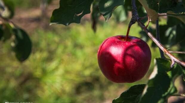 Суперинтенсивный сад КФУ дал свои первые плоды