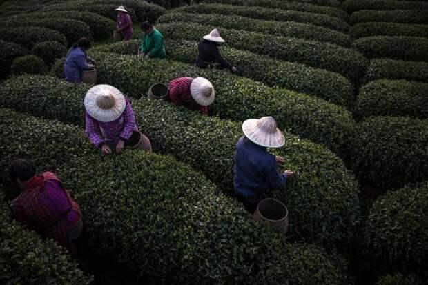 Чайная промышленность Китая: где производят каждую четвёртую чашку чая в мире