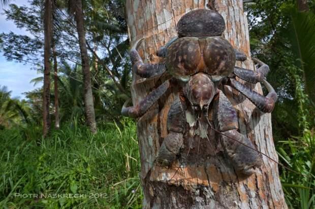 Знакомьтесь, Пальмовый вор пальмовый, вор