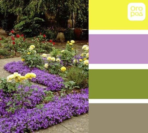 клумба из желтых и фиолетовых цветов, сад в желто-фиолетовых цветах