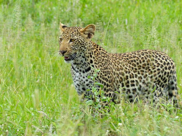 Леопард. Фото Bernard DUPONT (flickr.com)