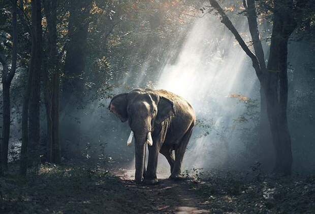 Китай запретил торговлю слоновой костью, чем поспособствовал увеличению популяции слонов во всем мире!