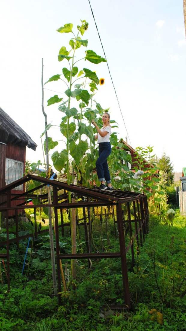 Жительница Бибирева вырастила гигантский подсолнух