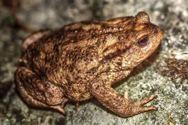 Животные тундры: Обыкновенная жаба