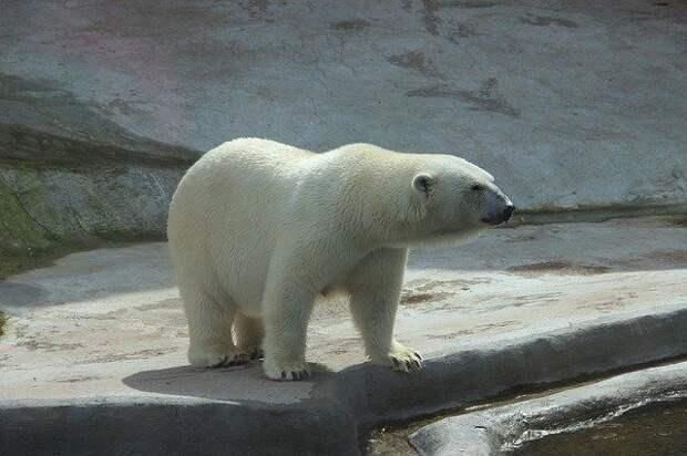 В уральском зоопарке белый медведь умер, проглотив детский мяч