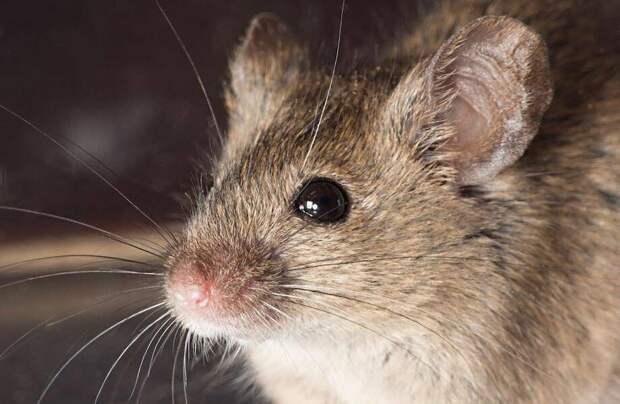 Чем мыши похожи на людей