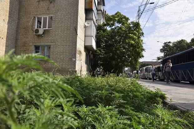 Амброзия в Краснодаре: люди проигрывают войну с сорняком