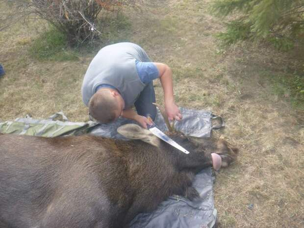 В Киев по Днепру приплыл взрослый лось - и вот что с ним сделали