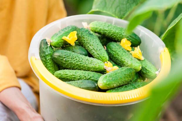 Как увеличить урожай огурцов: 5 хитростей