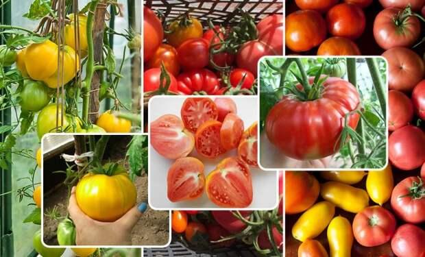 11 лучших сортов томатов для теплицы и открытого грунта