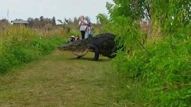 А теперь Горбатый: Огромный аллигатор прошел в метрах от туристов (видео)