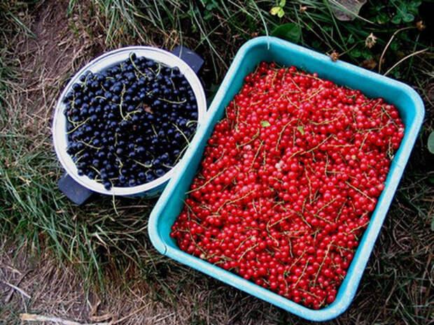 Комплексный уход за ягодниками