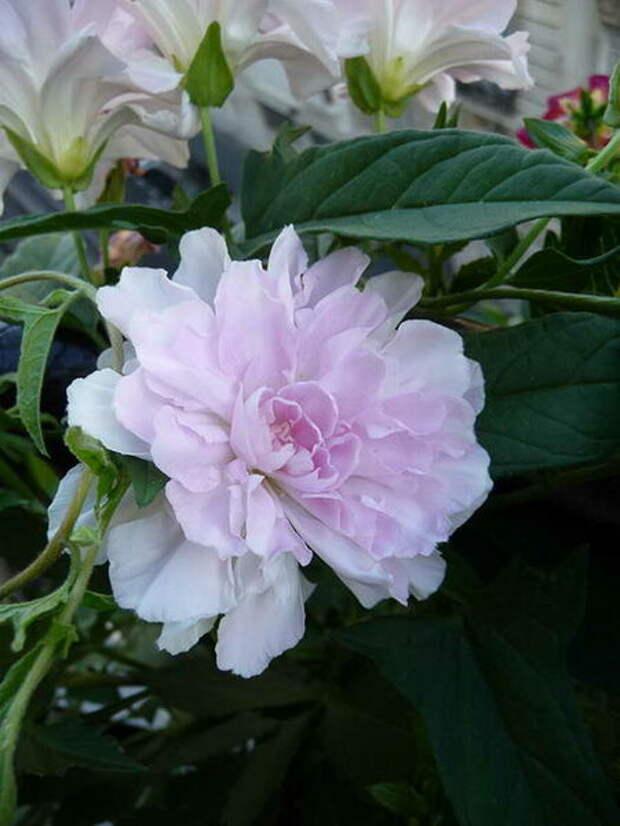 Калистегия японская или плющелистная Флоре Плено Calystegia hederacea 'Flore Pleno'