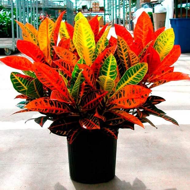 Комнатное растение Кодиеум (Codiaeum)