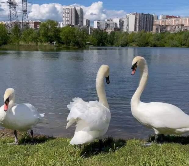 «Лебединое озеро» в Митине пополнили еще семь благородных птиц