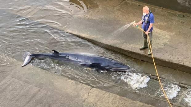 Застрявшего в шлюзе на Темзе кита спасают в Лондоне: видео
