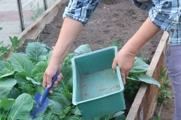 Рассаду капусты — в грунт. Секреты высадки на грядку и подкормки