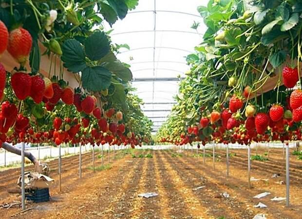 Выращивание клубники в теплице дача, клубника, на заметку, огород, сбор урожая, фото