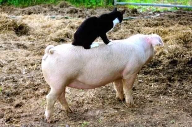 У этого кота самая почетная миссия в убежище для фермерских животных