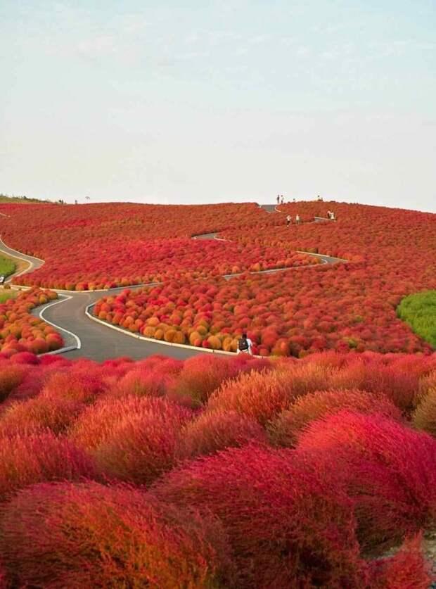 2. Красное перекати-поле ботаника, вокруг света, интересное, растения