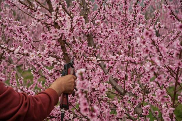 обрезка сада весной сроки