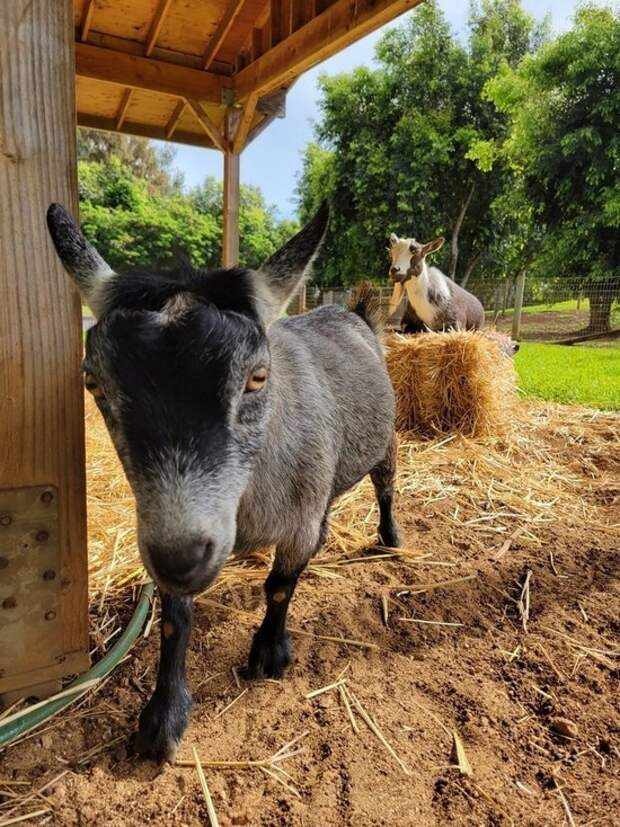 Марк Цукерберг назвал своих коз «Макс» и «Биткоин»