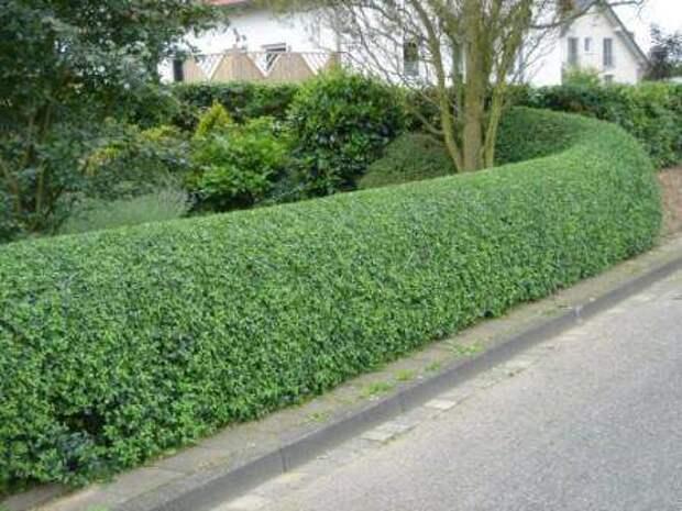 Бирючина обыкновенная Садоводы очень любят данное растение использовать для создания живой изгороди