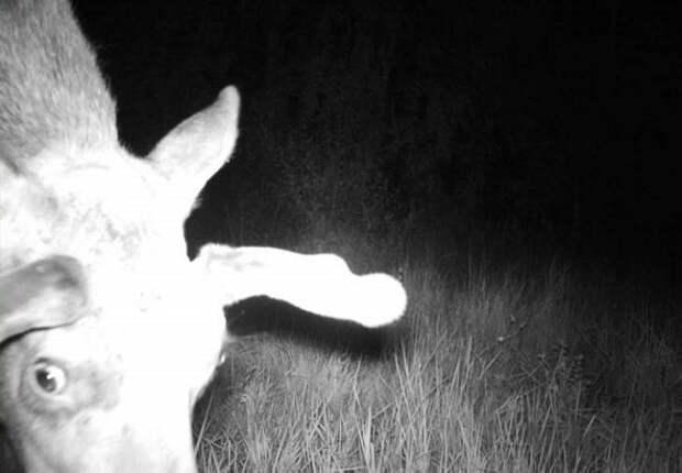 19 фото животных, которые вновь обживают Чернобыль.