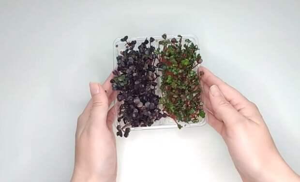 Микрозелень Редиса. Проращивание семян для микрогрина