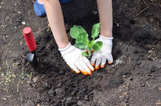 Высадка рассады капусты в грунт
