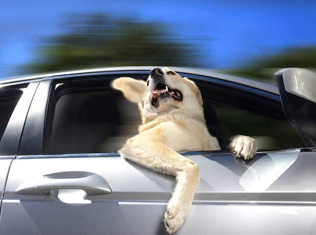 Собаки в машинах