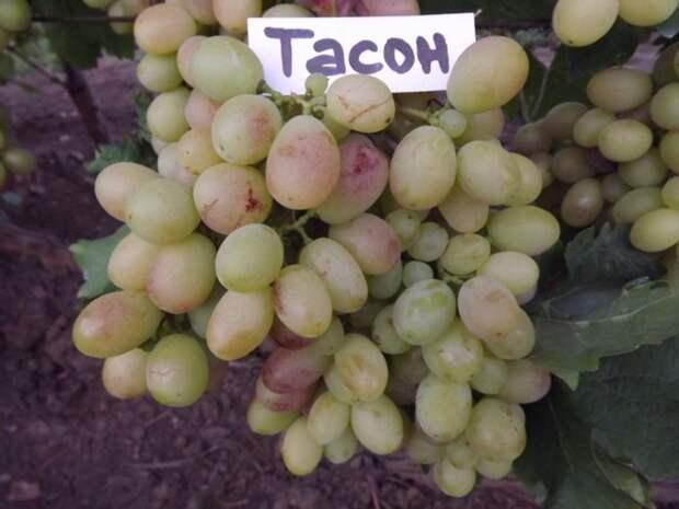 Неукрывные сорта винограда для Подмосковья