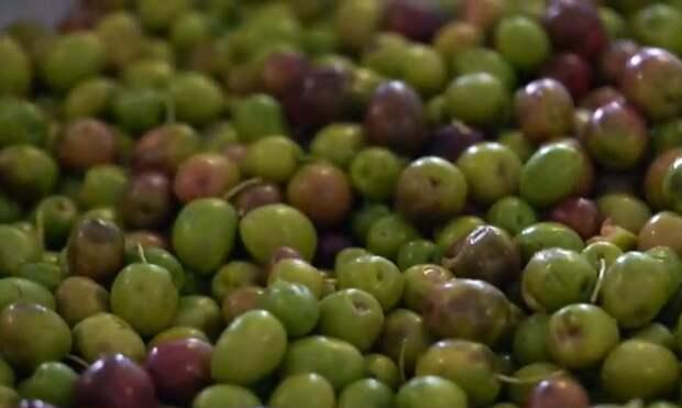 В Крыму впервые изготовили оливковое масло из автохтонных плодов