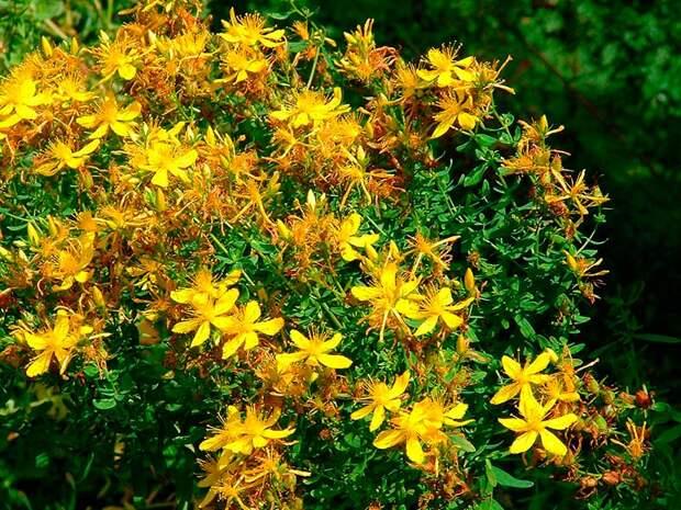 Лекарственное растение Зверобой пронзеннолистный (Hypericum perforatum)