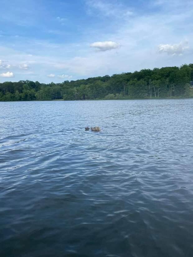 Голдендудль спас крошку-олененка из озера