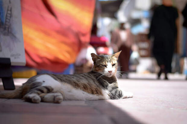 На солнце Эс-Сувейра, город, животные, кот, марокко, проект, фотограф