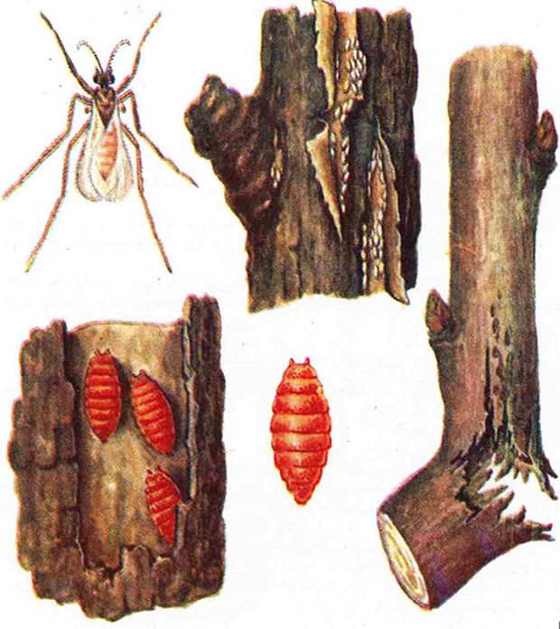 вредители голубики листовая галлица