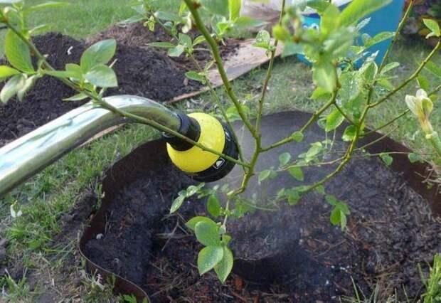 Опрыскивание голубики водой