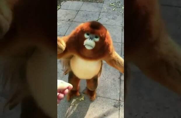 Видео: Как милейшая золотистая курносая обезьяна ест ягоды