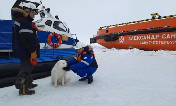 Собака на Севере убежала из дома, а через неделю ее нашли полярники на дрейфующей льдине