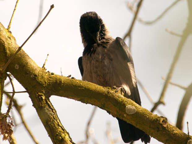 Фото серая ворона
