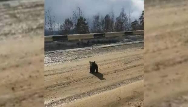 Медвежонок встал на защиту матери от преследовавших водителей видео, водитель, защита, маты, медвежонок
