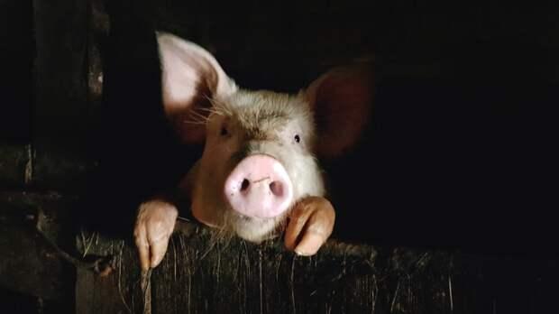 Россельхознадзор сообщил о выявлении чумы свиней в агрохолдинге «Мираторг»