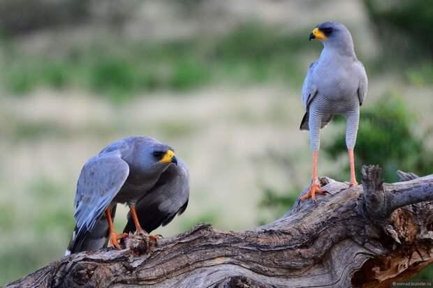 Певчие ястребы: странные хищники, которые умеют петь красивые песни