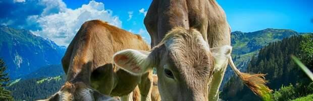 Сельчанину в Туркестанской области вернули 6 пропавших коров