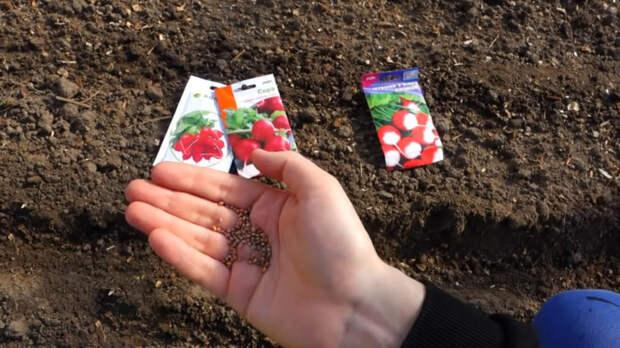 Бабушкин метод посева редиса для стабильного раннего и крупного урожая