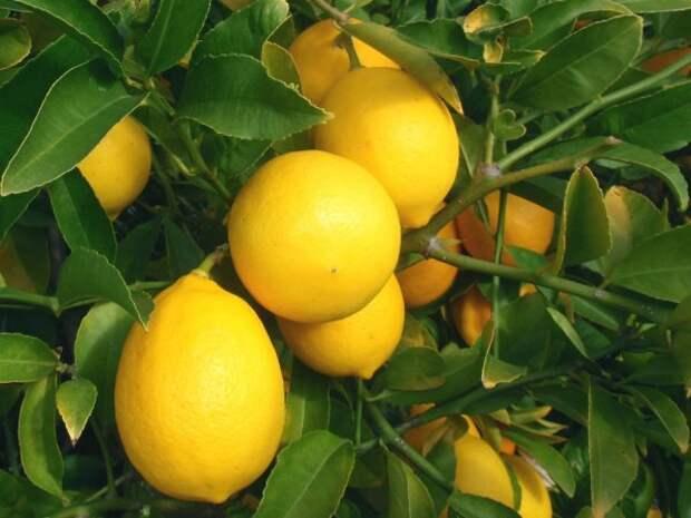 За год гибрид Мейера может подарить 10 плодов