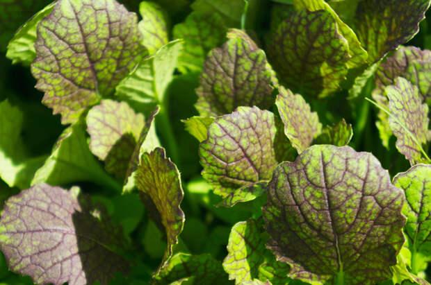 Салатные овощи – быстрые витамины. Какие сорта дадут хороший урожай?